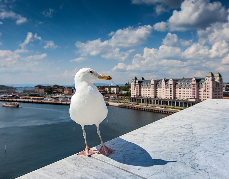 Seagull on the roof of Oslo Opera House