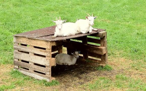 Goats on a farm near Flåm