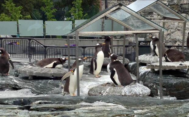 Penguin colony in Bergen