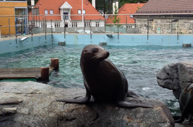 Sea-lion in Bergen