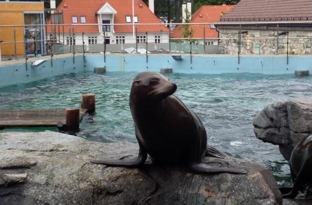 Sea-lion in Bergen