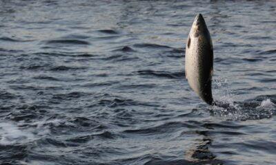 Norwegian salmon exports