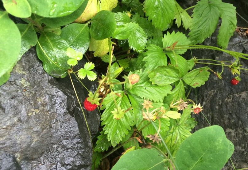 A photo of Norwegian wild berries
