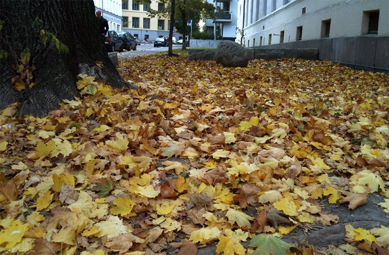 Golden leaves on the Oslo pavement in autumn