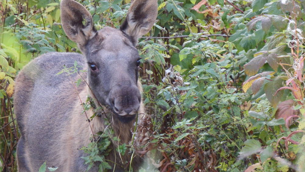 A little moose who munched through our wild garden in late autumn.