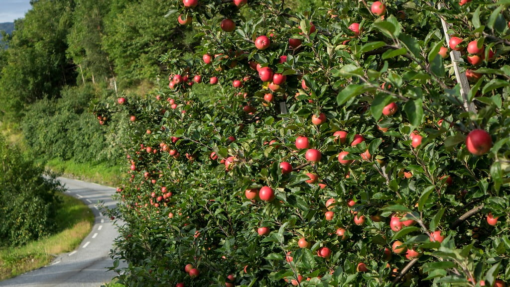 Fruit trees of Hardanger