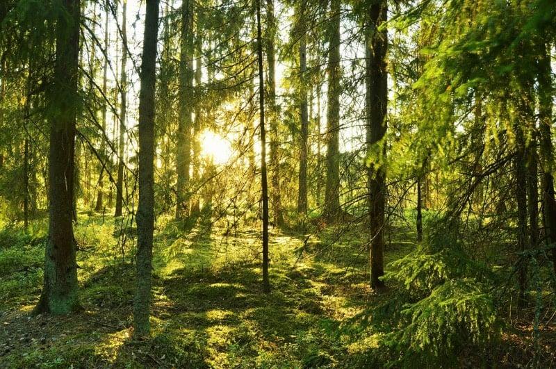 Swedish forests