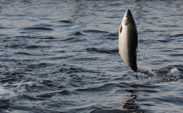 Norwegian salmon exports