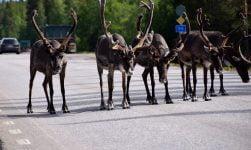 Reindeer in north Scandinavia