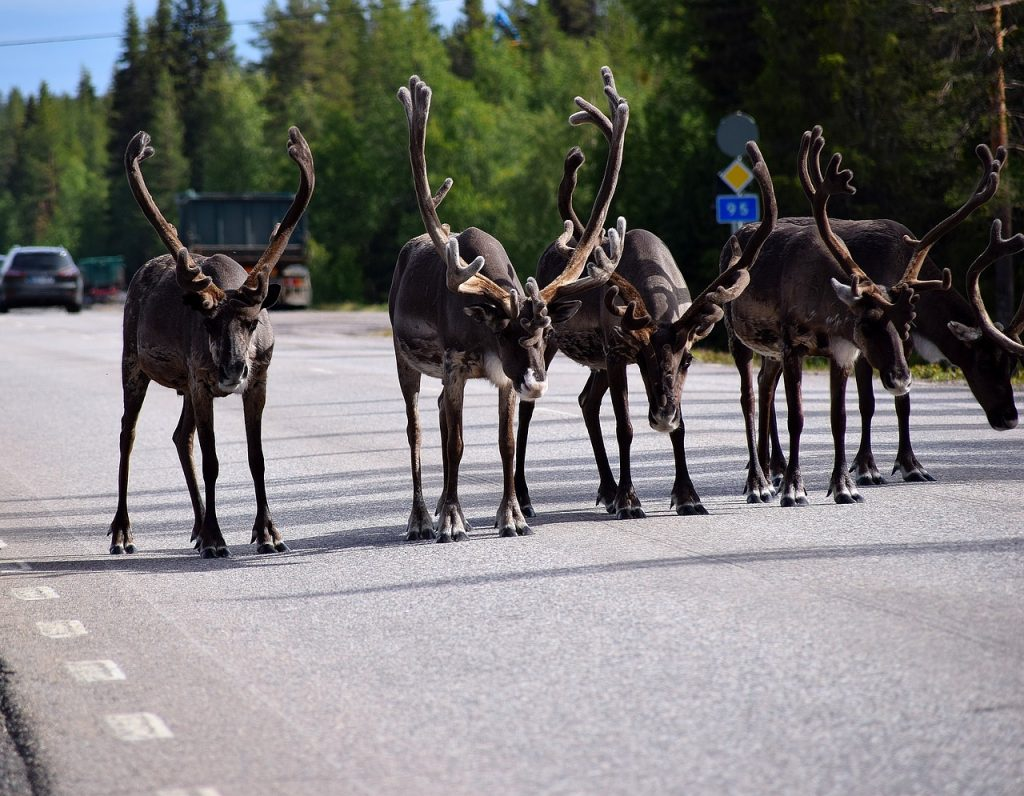 Reindeer in north Scandinavia
