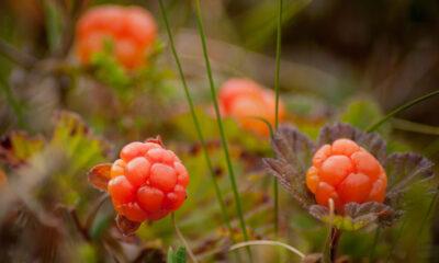Wild cloudberries in Norway