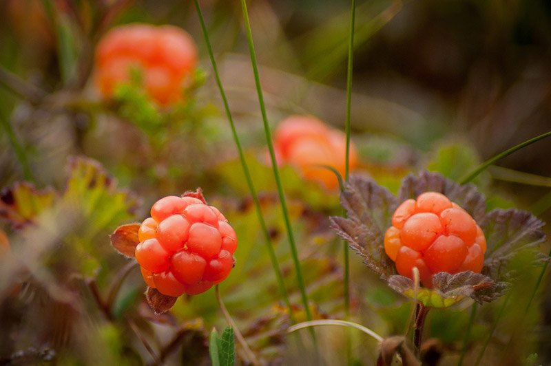 Wild cloudberries in Norway