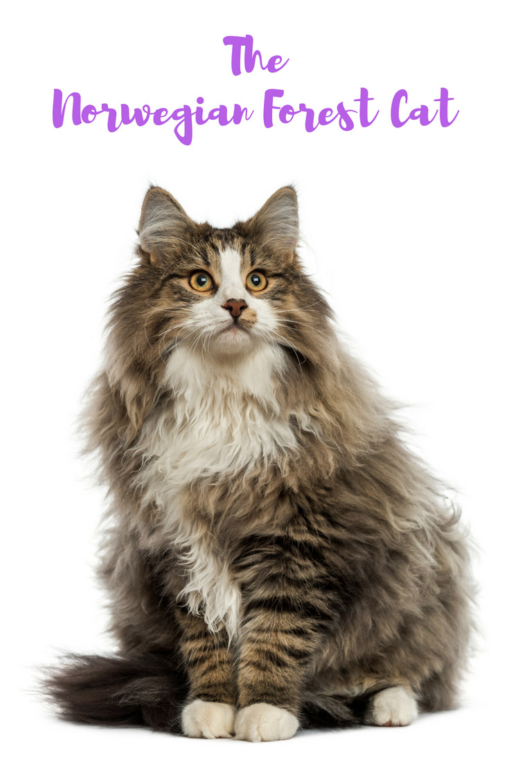 The distinctive Norwegian Forest Cat is the national cat of Norway and a popular breed in northern Europe and the USA.