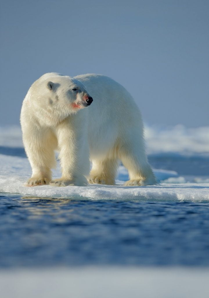 21 Fascinating Facts About Polar Bears - Life in Norway