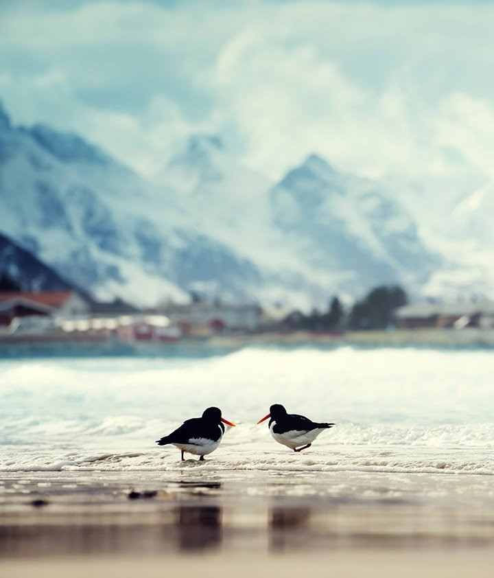 Birds on a Lofoten beach in Norway