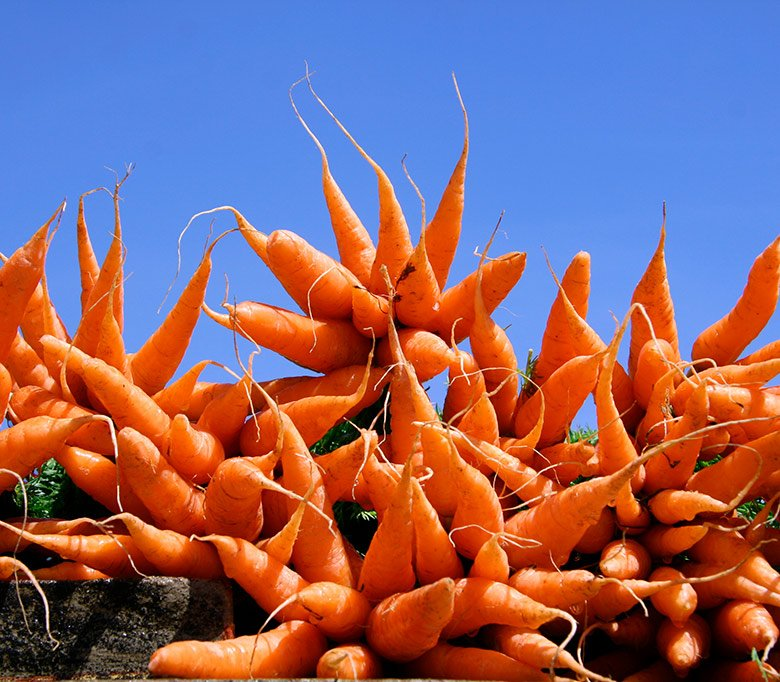 Carrots at Stavanger farmers market