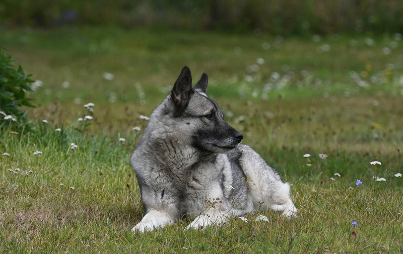 Norwegian elkhound relaxing in a field
