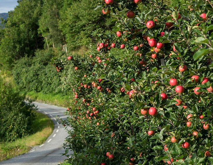 Fruit trees of Hardanger by the side of the road.