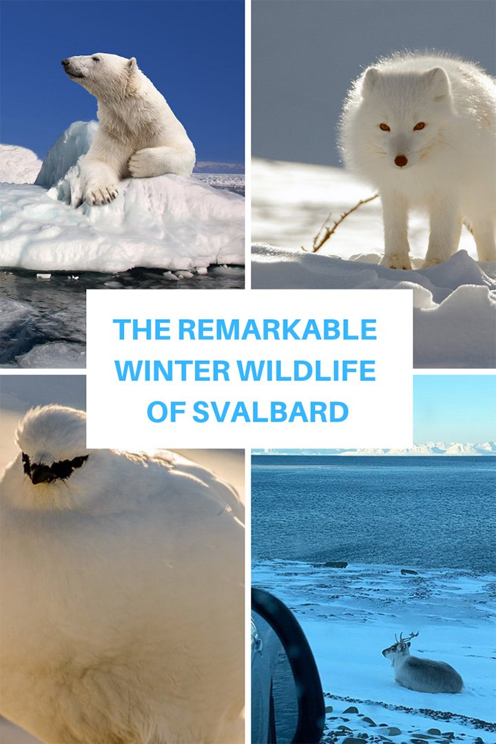 The remarkable winter wildlife on Svalbard, Norway