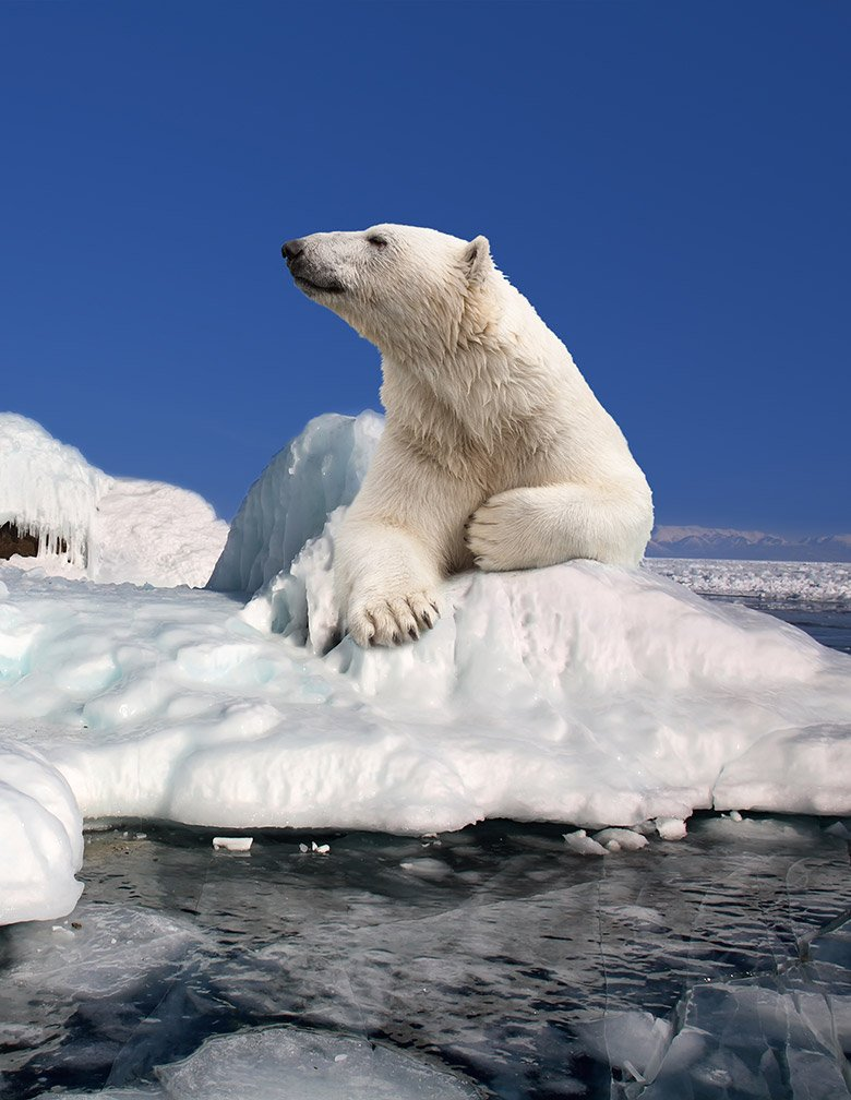 Polar bear sitting on the drift ice near Svalbard, Norway