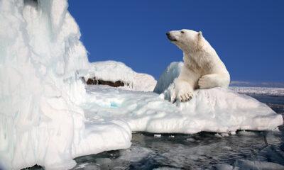 Polar bear in Svalbard, Norway