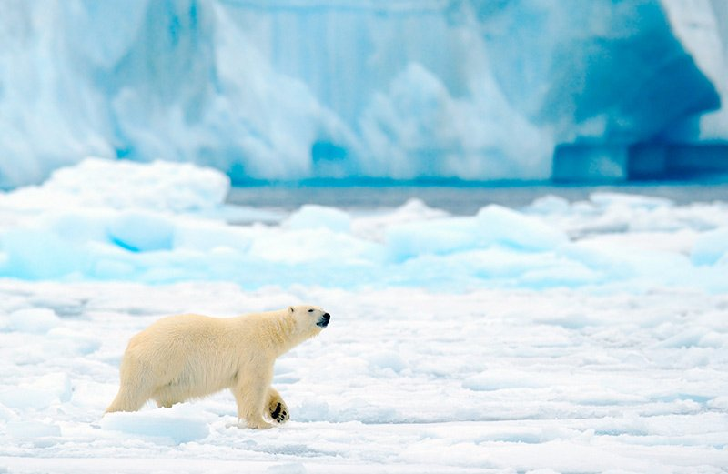 Polar bears are among the wildlife in Svalbard, Norway