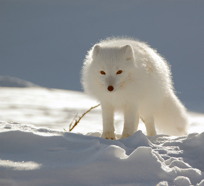 A white Arctic fox in the Svalbard winter