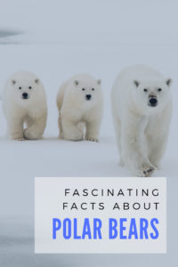 Fascinating Polar Bear facts about these amazing creatures