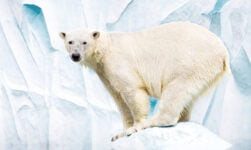 Winter facts about the polar bear