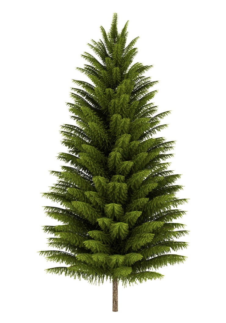 Norway Spruce on a white background