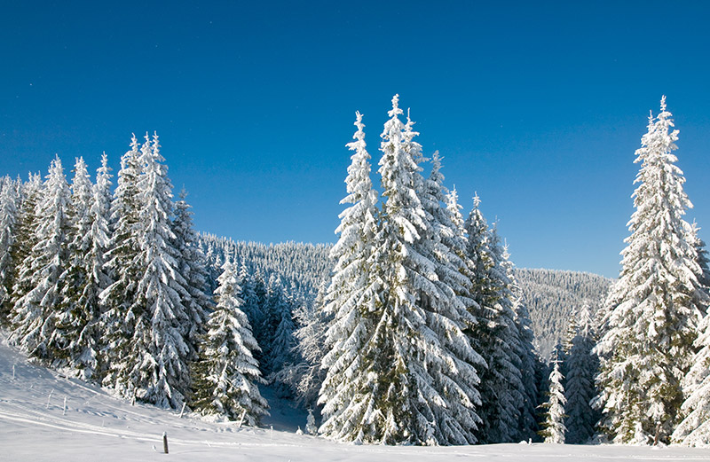 Snow-covered Norway spruce in Oslo forest