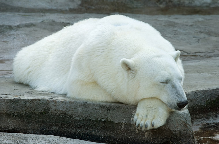 A sleeping polar bear
