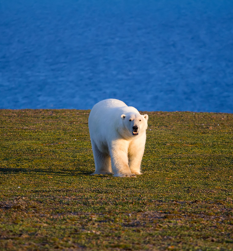 A lone polar bear walking on grass with sea in the background