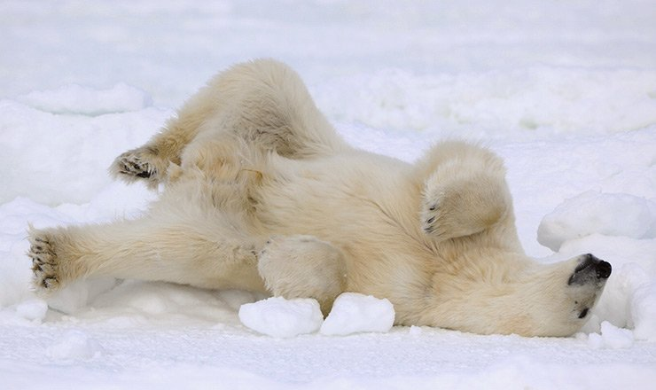 Polar bear lying on its back in Svalbard, Norway