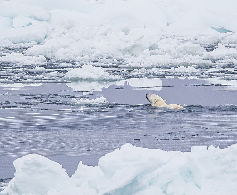 A polar bear swimming in icy water seen from an expedition ship