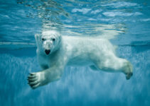 Polar Bear Pictures: Stunning Photos of Polar Bears