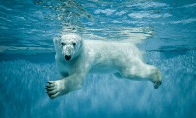 Photo of polar bear swimming underwater