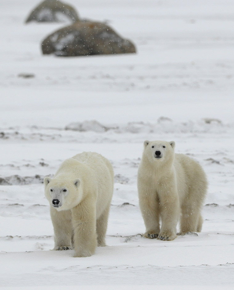Two polar bears walking against an icy backdrop