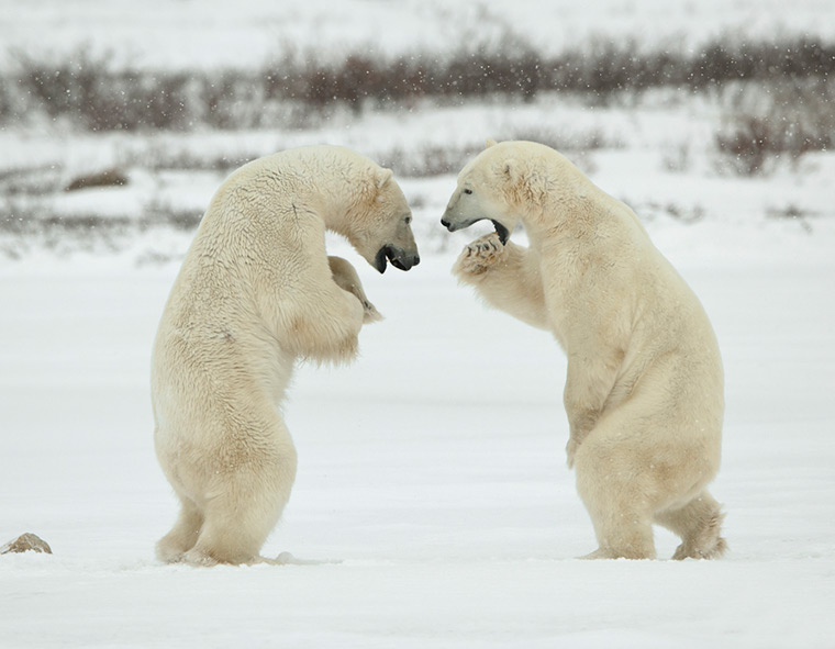 Two polar bears fighting each other
