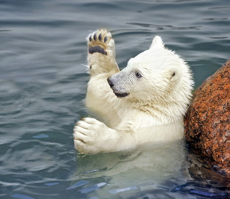 A young polar bear playing in the water