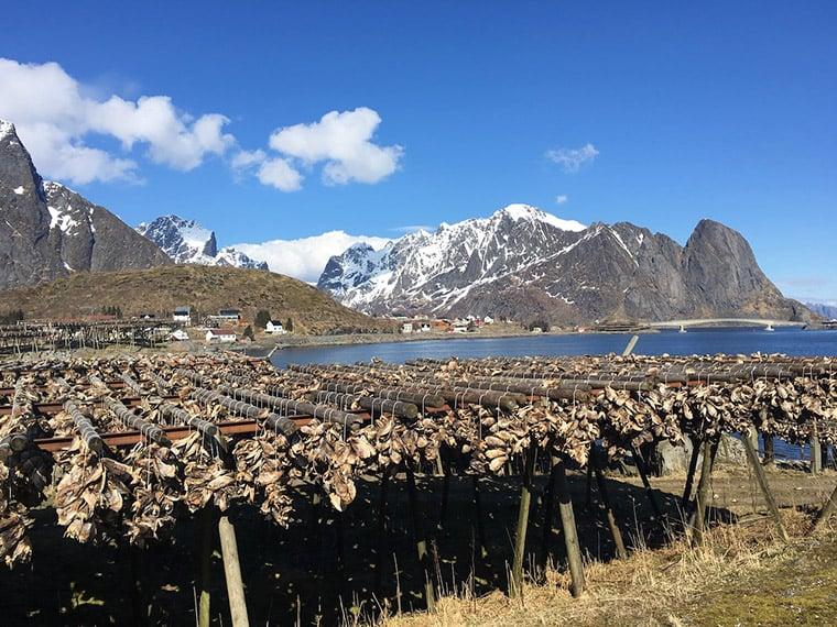 Dried fish in the Lofoten islands