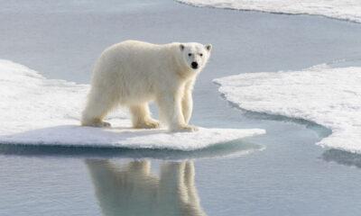 Polar bear on the ice in the summer