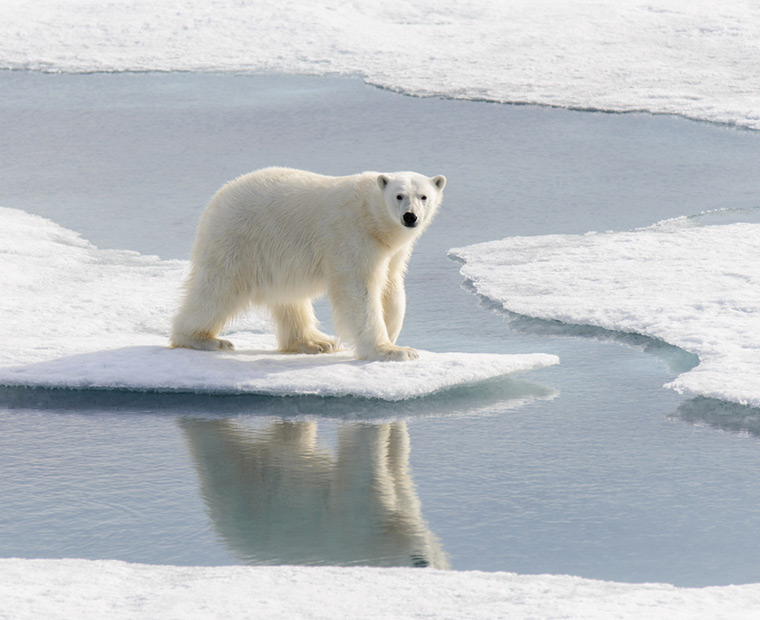 Polar bear on the ice in the summer