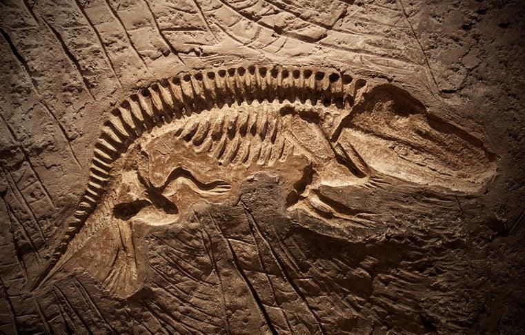 A dinosaur fossil model