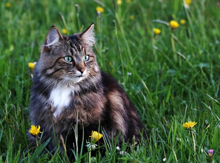 Norwegian cat hunting in a green field