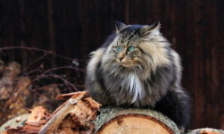 Viking cat sitting on wood