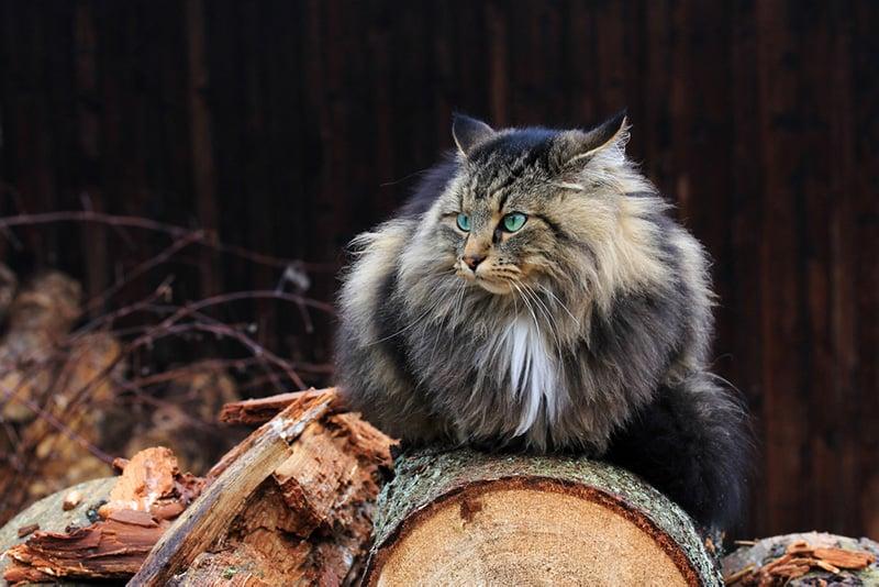 Viking cat sitting on wood