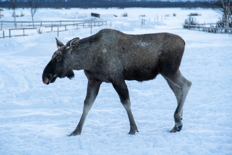 Moose in a snowy field