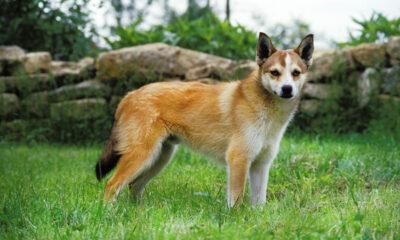 A Norwegian lundhund dog in a field