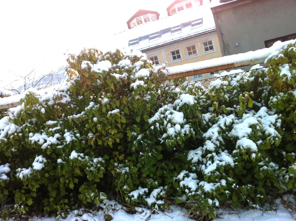 Snowfall on bush in Ålesund, Norway